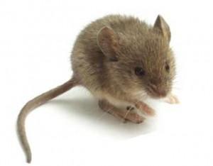 scrunchy mouse